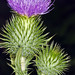 Flickr photo 'Cirsium vulgare1' by: anpena.