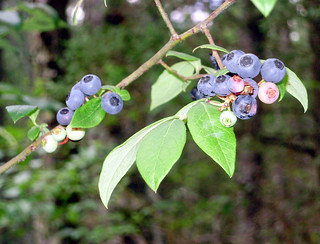 blueberries | by Mullica