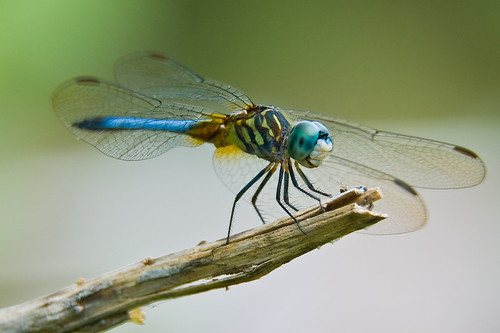 macro bug dragonfly damselfly kenko extensiontubes 70200vr