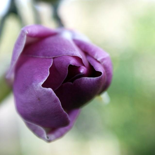 HBW magnolia