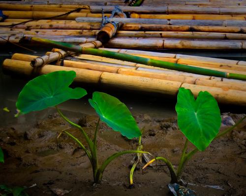 food plant leaves gabi george philippines vegetable bamboo raft mateo taro gregorio bambooraft thehousekeeper georgemateo