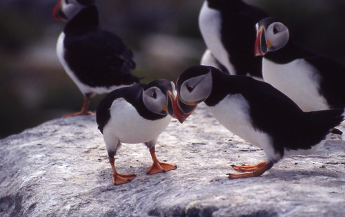 Atlantic puffins courtship billing | by U. S. Fish and Wildlife Service - Northeast Region