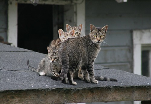 Feral Cat Mom and 3 Kittens