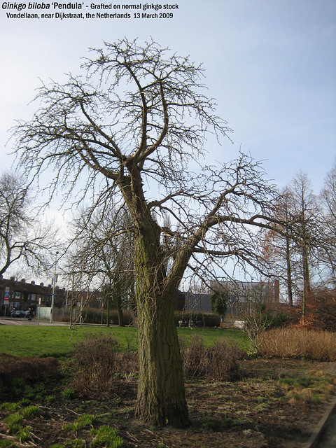 Ginkgo biloba 'Pendula' - habitus Vondellaan nr Dijkstr, Leiden, NL 13 Mar 2009 06 Leo
