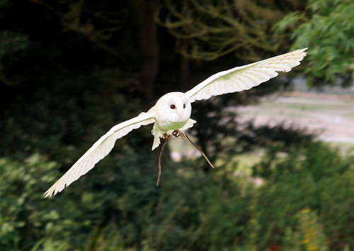 Barn owl | by Cyclingrelf