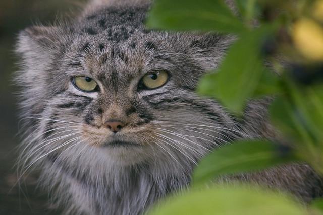 Tula - Female Pallas Cat