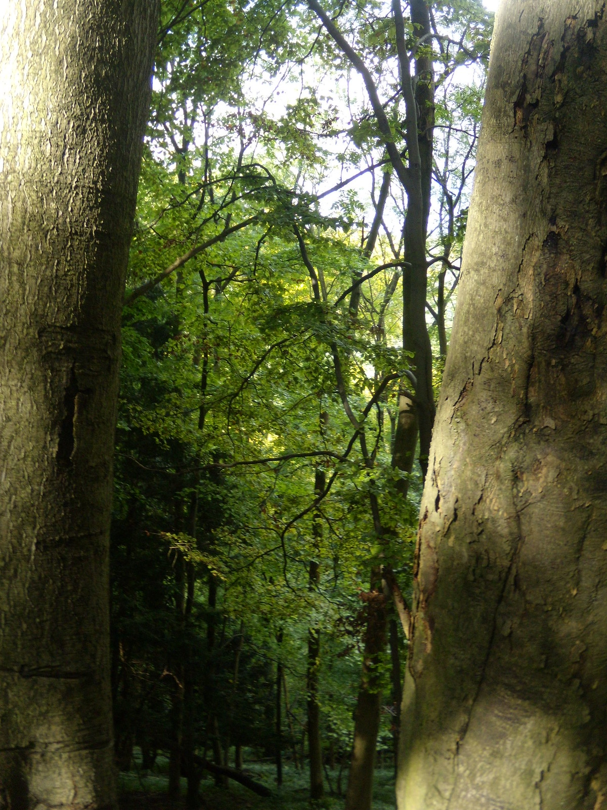 Trees behind trees Petersfield to Liss