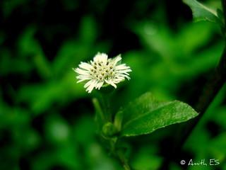 White Flower-Macro