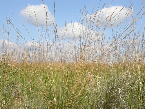 grass midsummer habit poaceae steppe perennial wheatgrass inflorescence festuca bunchgrass fescue triticeae bigbeltmountains coolseason roughfescue drysite poeae festucacampestris festucascabrella
