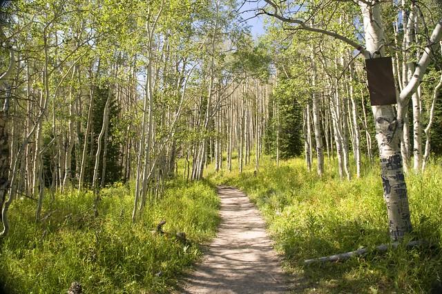 An aspen grove along the Thomas Lakes trail, Maroon Bells