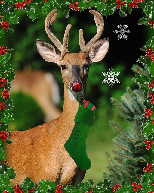 Rudolf's Gettin' Ready For Christmas!