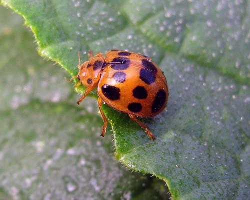 bug insect beetle kansascity kansas tonganoxie easternkansas squashbeetle epilachnaborealis