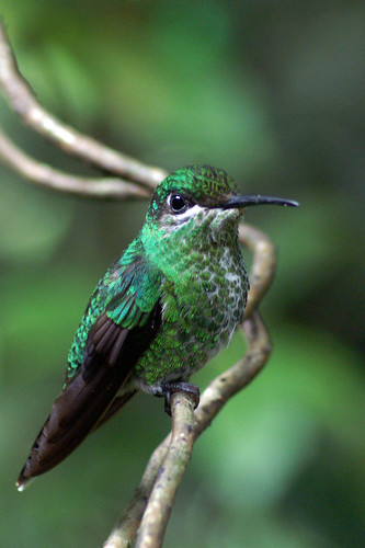 Green-Crowned Brilliant (Heliodoxa jacuna) | by avicentric