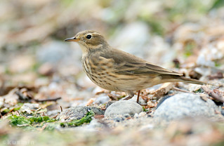 american pipit (anthus rubescens) | by punkbirdr