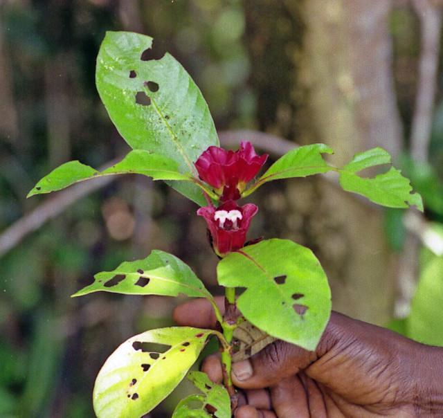 Sabicea africana (P. Beauv.) Hepper (RUBIACEAE)