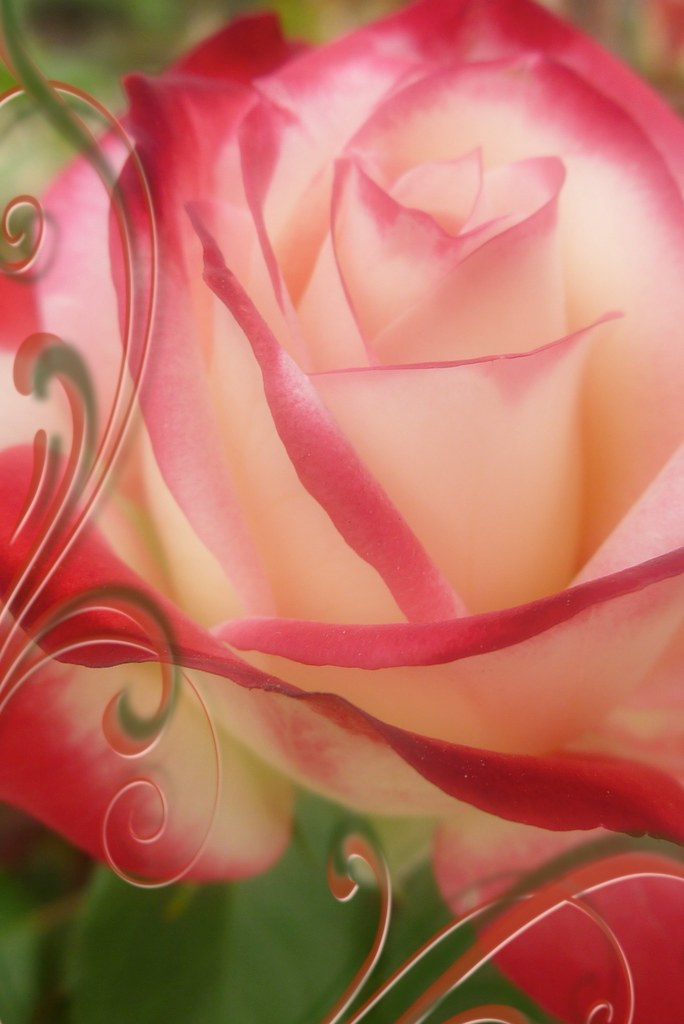 Una Rosa Y Un Poemafeliz Domingo A Una Rosa Con Qué Ar