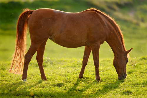 Backlight brown horse