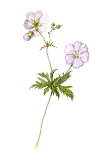 Geranium pratense 'Mrs  Kendall Clark' | Another drawing I f