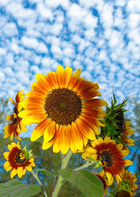 Sunflowers with Sky