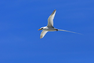 White-tailed Tropicbird | by kansasphoto