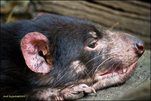 fauna geotagged australia devil tasmanian geo:lat=33765431 geo:lon=150882347