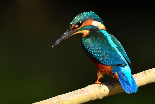 Eisvogel - Alcedo atthis - kingfisher