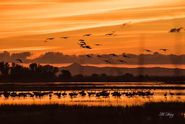 DSC_8077  _ Sandhill Cranes landing at sunset
