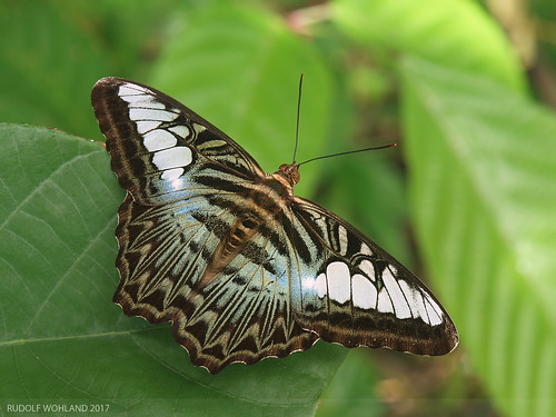 tier thailand insect insekt wildlife schmetterling butterfly animal ranong parthenossylvia clipper falter outdoor