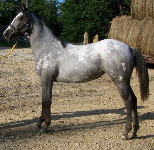 Loud Blue Roan 2008 Appaloosa Filly For Sale !! Awesome! | Flickr