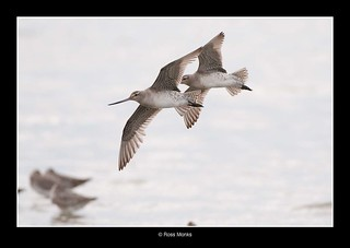 Bar-tailed Godwits in flight | by Ross_M