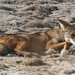 Flickr photo 'Canis latrans' by: Michael Rosenberg.