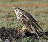 Saker Falcon by eojbayara