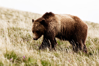 Yellowstone Grizzly 2 | by Malenkov in Exile