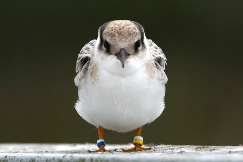 Juvenile Least Tern, Straight On | by brad.schram