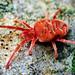Red Velvet Mite - Trombidiidae (Allothrombium?) by Thomas Shahan