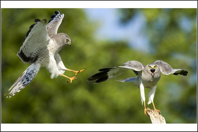 Hawk (Northern Harrier) - 0960