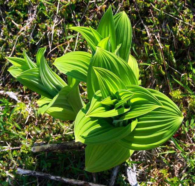 False Hellebore (Nature's toilet paper?) - thanks ddgann