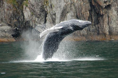 Humpback whale breaching | by jdegenhardt