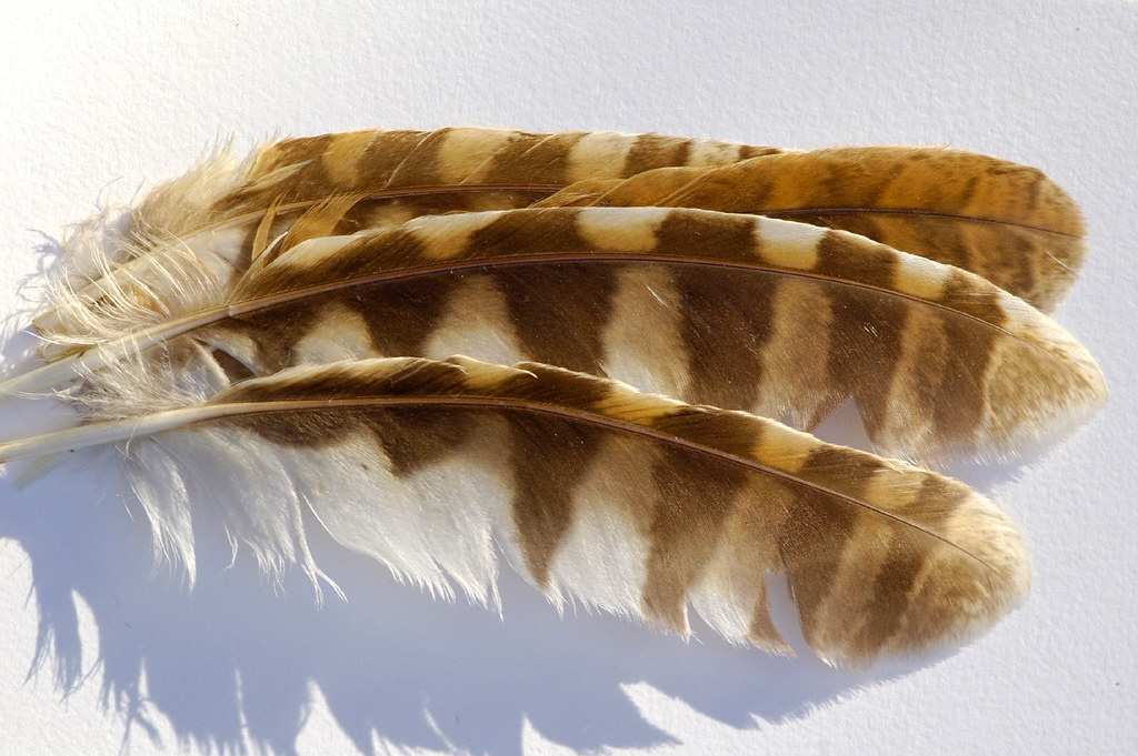 720ee6d8b57ec Wing Feathers (Tawny Owl)   Longest feather = 17.5 x 3.7cm. …   Flickr