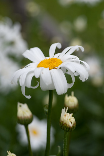 Shasta Daisy | by photofarmer