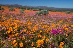 Namaqualand flowers   by mmmavocado