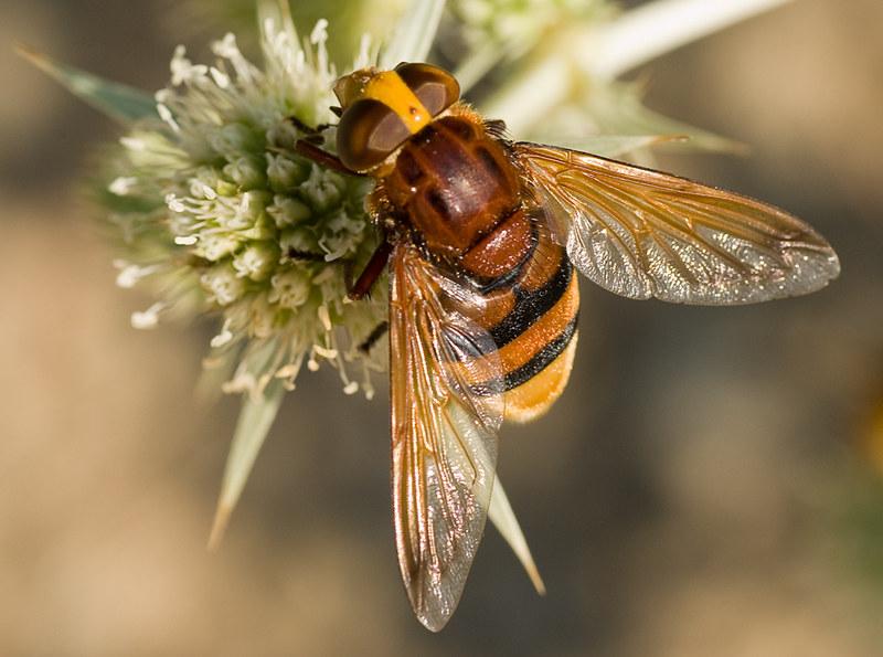 Mosca disfrazada de abeja / Fly disguised like a bee