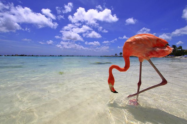 Pink Flamingo in Aruba
