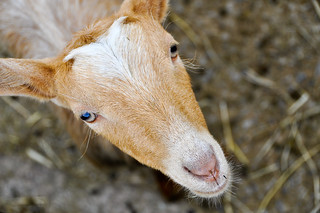Baby  Goat | by -M a r t i n-
