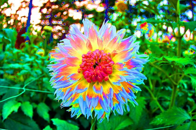 Vincennes parc floral 57  les Dahlias