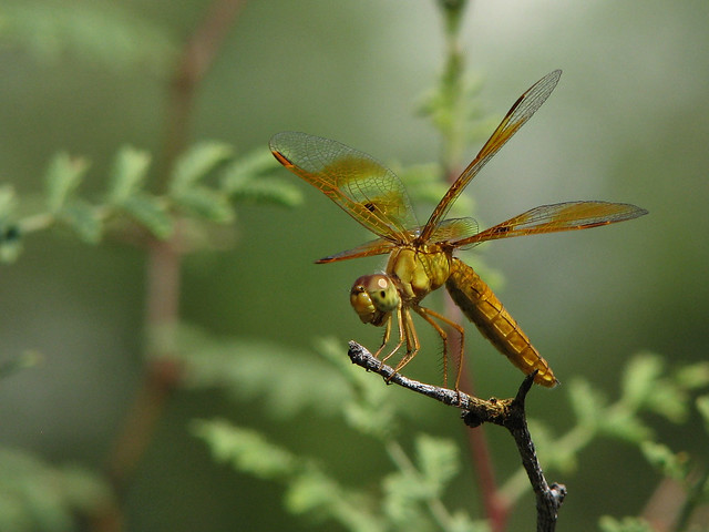 Mexican Amberwing Female