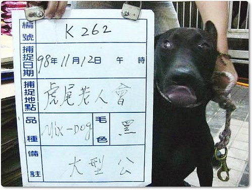 20091118『只缺一個機會!』雲林防治所公告.11月18日至11月24日止,黃金獵犬x2、德國狼犬、混米格魯、米克斯幼犬、米克斯