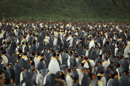 King Penguins at Salisbury Plain | by Liam Quinn