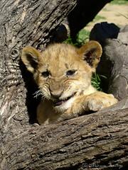 Lion cub groaning