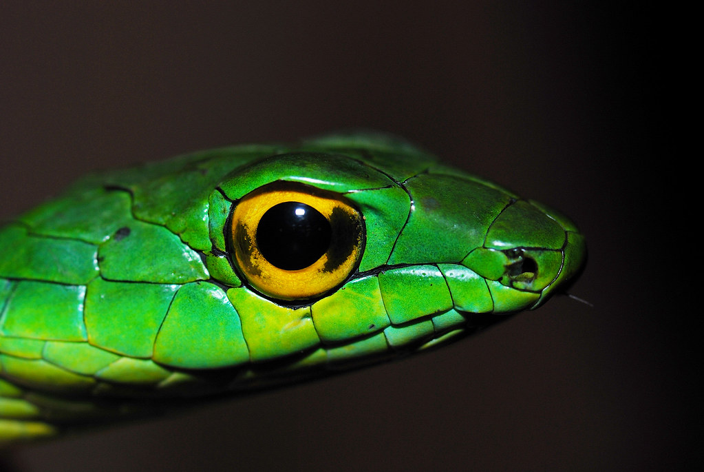 Leptophis headshot by Andrew Snyder Photography